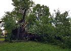 Orkan powalił zabytkową lipę w Cielętnikach. Całe wieki pielgrzymi obgryzali jej korę