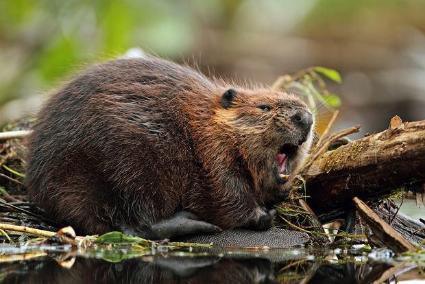 Bobry są w Polsce zwierzętami chronionymi