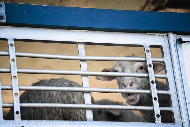 Soska: owce powrócą na Błonia, będą wyścigi koni