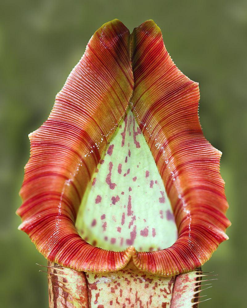 Ro�liny mi�so�erne: Nepenthes campanulata - dzbanecznik - Borneo