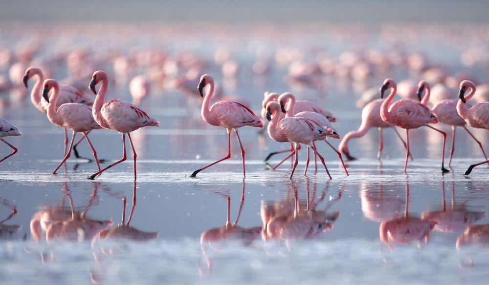 Afryka. Tanzania - r�owe flamingi w Ngorongoro / fot. Shutterstock