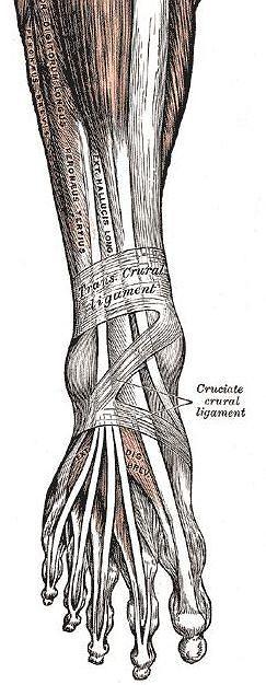 Gray's Anatomy - wi�zad�a, mi�nie i ko�ci stopy