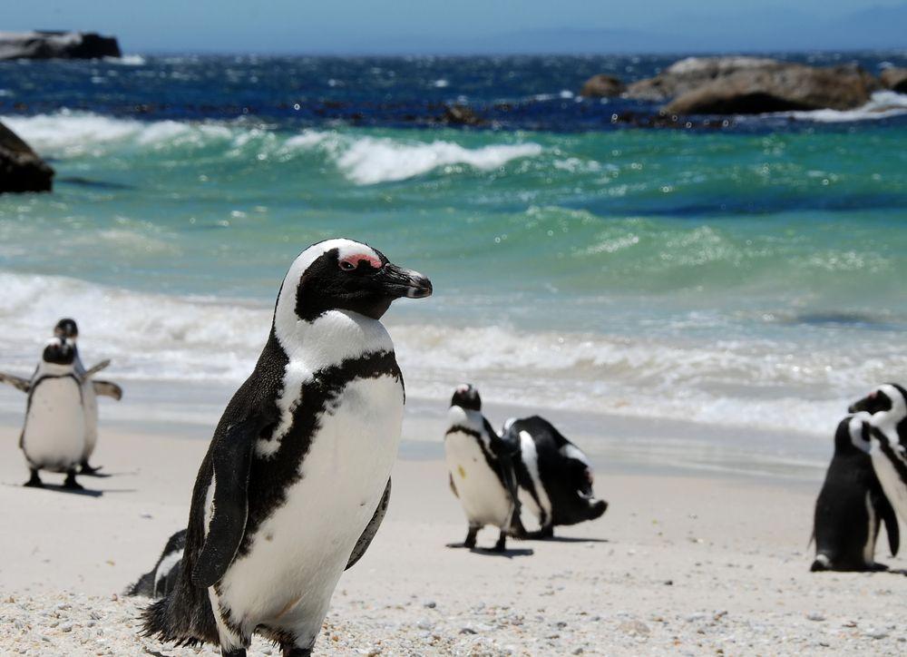 Rezerwat pingwinów. Robben Island, RPA / fot. Shutterstock