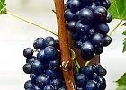 Winoro�l - zak�adanie domowej winnicy