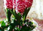 Tulipany, hiacynty i inne ro�liny cebulowe