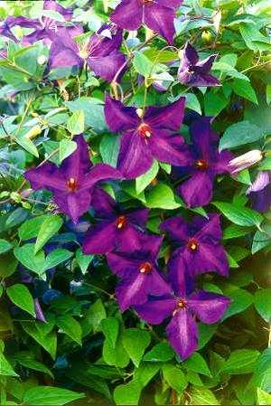 Clematis - odmiany