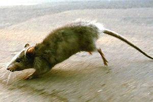 Wolontariusze widzą plagę szczurów w schronisku dla psów. Szefowie schroniska: - Jest jak zwykle