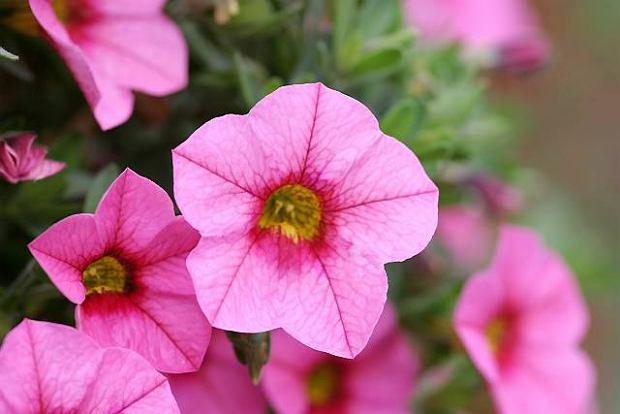 Petunie i surfinie. Kwiaty na tarasy i balkony