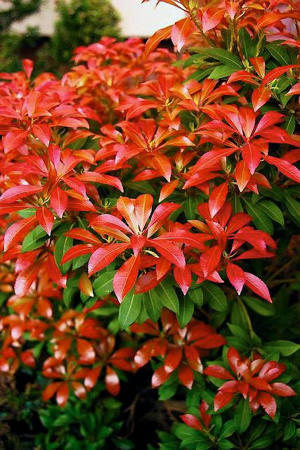 Pieris japo�ski (Pieris japonica) 'Red Mill'