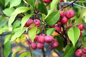 Powabne rajskie jabłuszka