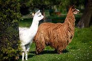 Alpaki w śląskim zoo