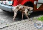 Jak można tak zagłodzić psa? Szczecińskie TOZ interweniuje