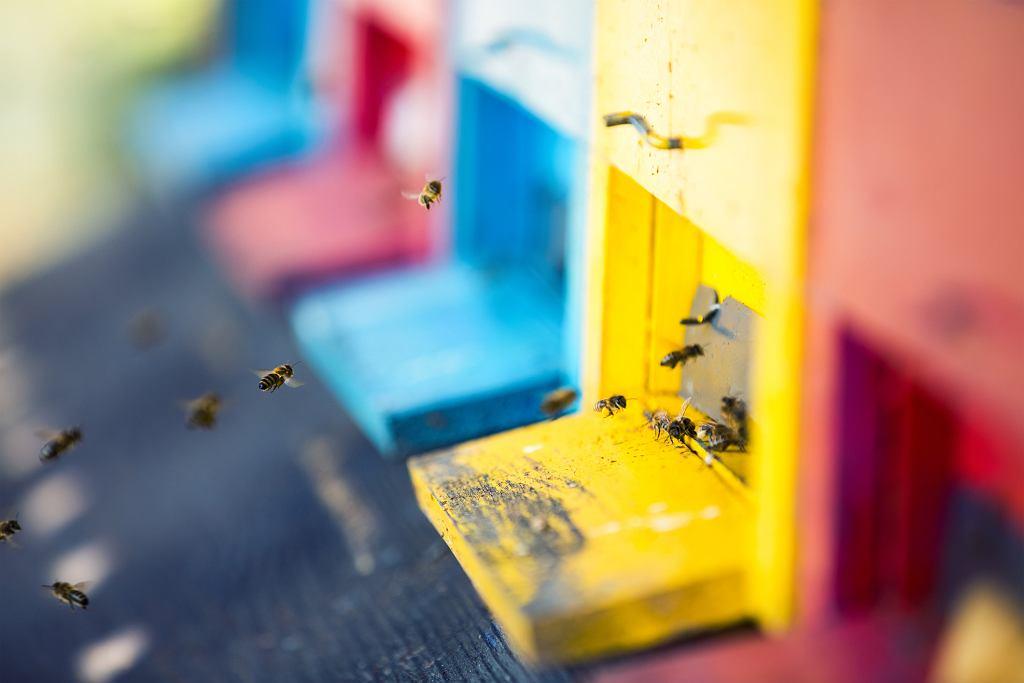 Podczas produkcji miodu pszczoła wyciąga z nektaru większość zanieczyszczeń (fot. borchee / iStockphoto.com)
