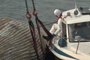 Akcja wyci�gania na brzeg martwego wieloryba [WIDEO]