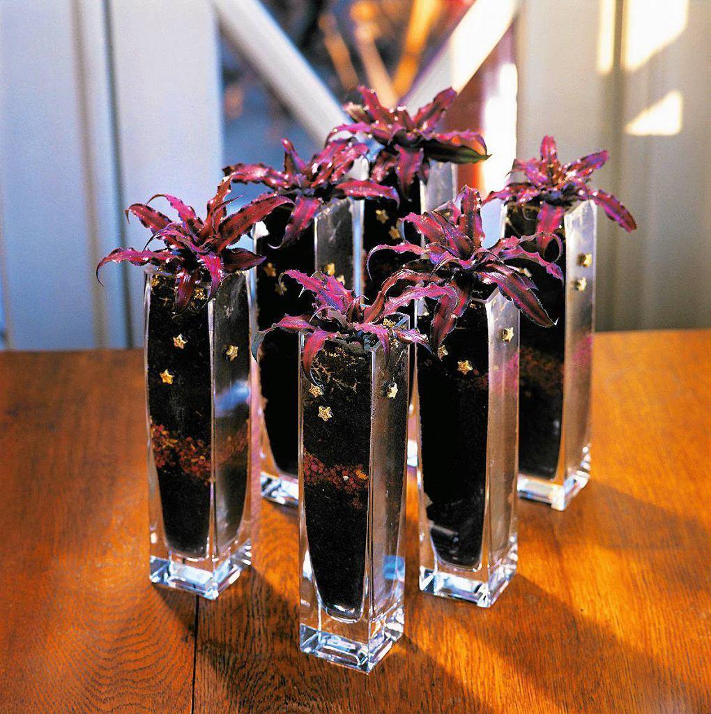 Skrytokwiat - jego kwiaty są drobne i mało efektowne, za to liście - bajecznie kolorowe. Anglicy nazywają go ziemską gwiazdą. W szklanym wazonie, zamiast w doniczce, prezentuje się bardzo efektownie.