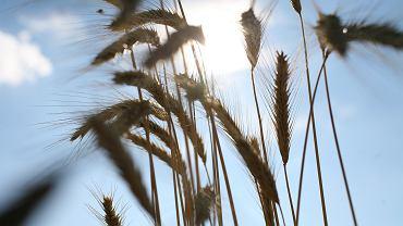 Przez suszę zbiory zbóż będą niższe, wzrosną ceny