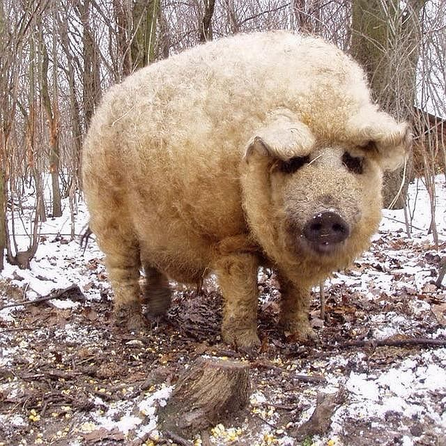 Wyglądają jak owce, a zachowują się jak psy. Poznajcie mangalice - kudłate świnie