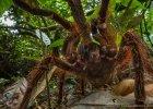 Polski naukowiec spotka� w d�ungli najwi�kszego paj�ka na �wiecie. Dlaczego go zabi�?