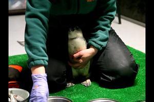 Zoo Wrocław. Pingwiny usunięte z wybiegu przez wirus ptasiej grypy