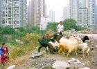 Chińskie Chongqing. Megapolis z kozą [FOTOREPORTAŻ]