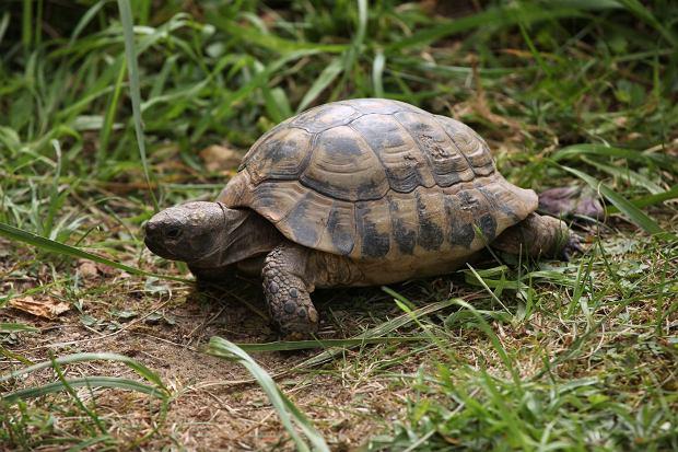 Który gatunek żółwia wybrać? Swoich wielbicieli mają zarówno przedstawiciele żółwi lądowych, jak i błotnych.