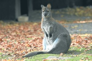 Martwy kangur znaleziony w Otwocku. Czy to Stefania?