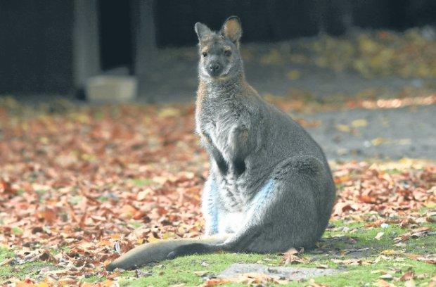 Nieuchwytny kangur niczym guziec sprzed lat [FELIETON]