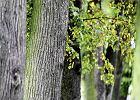 Konserwator uratowa� lipy w hodyszewskim Sanktuarium Maryjnym