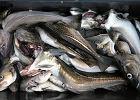 """""""To już nie są ryby, tylko pływające kości ze skórą"""". Rybacy alarmują: """"To agonia Bałtyku"""""""