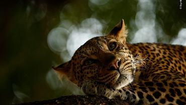Odpoczywający lampart