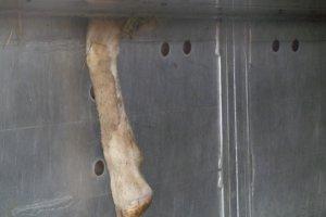 Raport o dr�czeniu zwierz�t w transporcie. Polska w czo��wce naruszaj�cych prawo