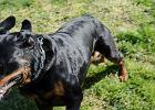 Rottweiler poszarpał twarz 8-latki na poprawinach. Właściciel: wypadki chodzą po ludziach