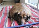 Psy i koty też się odchudzają - są kliniki weterynaryjne ze specjalną ofertą dla otyłych zwierzaków