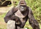 Wa��cy 181 kg goryl pochwyci� 4-letniego ch�opca. Pracownicy zoo zastrzelili zwierz�