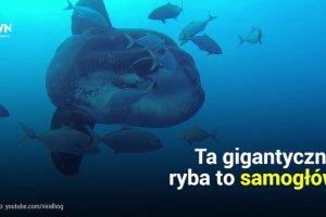 Samog��w to niezwyk�y gatunek ryby. Doros�e osobniki potrafi� wa�y� nawet dwie tony
