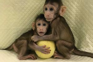 W Chinach narodziły się pierwsze klony małpy naczelnej - makaka. Kiedy sklonują człowieka?