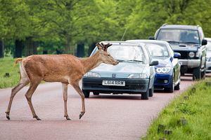 Ranne lub martwe zwierzę na drodze - jak pomóc i kogo poinformować
