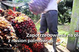 Olej palmowy kupujesz niemal codziennie. Ale za jego produkcją kryją się setki tysięcy chorych ludzi i martwych zwierząt