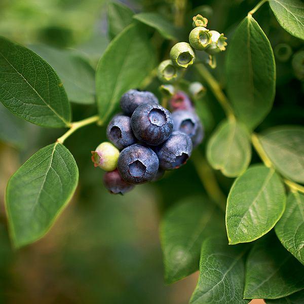 Borówka wysoka -  owoc odużych możliwościach kulinarnych. Jej smak zależy od koloru -ciemnoniebieska jest najsłodsza; na zdjęciu owoce zplantacji wPiskórce koło Warszawy