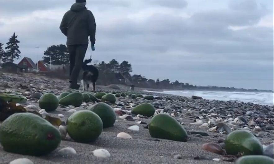 Zbiory awokado na plaży