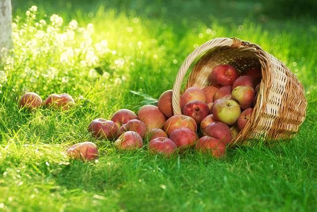 Zawarte w jab�kach sk�adniki od�ywcze s� zwykle znakomicie przyswajalne - najlepsze dla nas to, co ro�nie w naszym klimacie od wiek�w