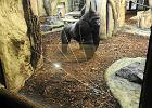 Goryl rozw�cieczony przez ludzi w zoo. Rozbi� szyb� [WIDEO]