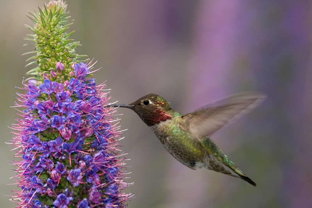 Koliber. Wyspa Madera, Portugalia / fot. Shutterstock