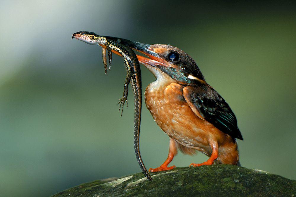 Zimorodek. Park Narodowy Ujung Kulon - Indonezja / fot. Shutterstock