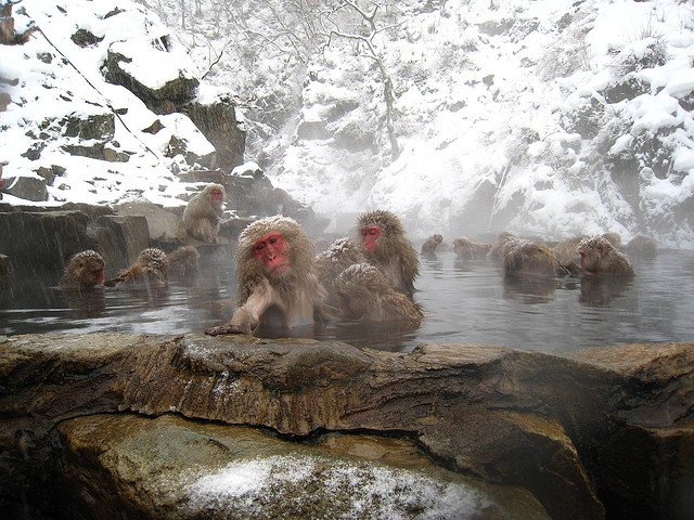 Gorące źródła w Japonii - kąpiel z makakami / fot. Wajimacallit/CC/Flickr.com