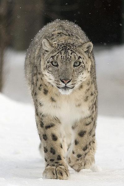 Irbis - pantera śnieżna, żyje w Himalajach / fot. Bernard Landgraf/CC/Wikipedia