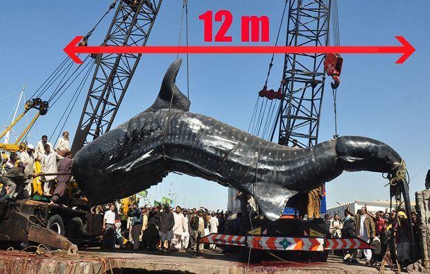 T�umy Pakista�czyk�w zgromadzi�y si� w porcie Karaczi, by zobaczy� cia�o martwego rekina wielorybiego - najwi�kszej ryby na Ziemi - znalezione przez miejscowych rybak�w.