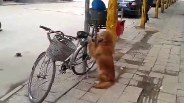 Pies pilnujący roweru. Umie też nim jeździć. W dość specyficzny sposób.