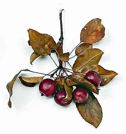 Rajska jabłoń (jabłka kurczą się po upływie 2-3 miesięcy)