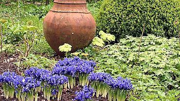Irysy z sekcji Reticulata zakwitają w kwietniu.